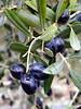101_7106 (Cassiopée2010) Tags: cévennes nature fruit olive