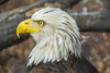 American Bald Eagle - Reelfoot Lake State Park (J.L. Ramsaur Photography) Tags: jlrphotography nikond7200 nikon d7200 photography photo tiptonvilletn westtennessee lakecounty tennessee 2018 engineerswithcameras americanbaldeagle photographyforgod thesouth southernphotography screamofthephotographer ibeauty jlramsaurphotography photograph pic tiptonville tennesseephotographer tiptonvilletennessee eagle baldeagle nationalsymbol nationalbird nationalanimal nature outdoors macro macrophotography closeupphotography closeup dof depthoffield bokeh god'sartwork nature'spaintbrush americansymbol americaneagle americana reelfootlakestatepark statepark tennesseestatepark reelfootlake established1956 reelfootlakepark park tennesseestateparks tennesseedepartmentofenvironmentconservation tdec eaglewinteringlocation feathers plummage haliaeetusleucocephalus birdofprey seaeagle whiteheaded