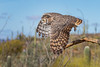 Great Horned Owl (Eric Gofreed) Tags: arizona arizonasonoradesertmuseum greathornedowl owl pimacounty raptorfreeflight ngc npc