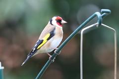 Goldie (roger_forster) Tags: goldfinch cardueliscarduelis wild bird feeder garden alverstoke gosport hampshire hiwwt