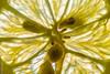 Macro Monday's Citrus (Giancarlo - Foto 4U) Tags: citrus macromondays c2018 105mm d850 giancarlofoto macro mondays nikon citron lime lemon