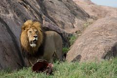 The lion won (for now) (Ring a Ding Ding) Tags: africa ascilia bigcat canon lion namiriplains pantheraleo tanzania cat fullframecamera guarding kill male mane nature predator safari wild wildcat wildlife shinyangaregion ngc coth coth5 npc