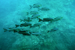 Group Swim (syf22) Tags: australia queensland downunder aussie oz greatbarrierreef fish underwater swim grunt group team shore