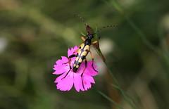 Gerarchia visuale (lincerosso) Tags: insetto coleottero cerambicide fiore garofanoselvatico dianthussylvestris afide prateria primavera collina bellezza armonia