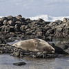 Hawaiian monk seal (CNorthExplores) Tags: hawaiianmonkseal seal monkseal hawaii oahu kaenapoint beach rocks water ocean nature wildlife island sunny sleeping explored animalplanet