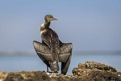 070A3246-1 (Cog2012) Tags: cormorant