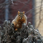Squirrels On a Winter's Day in Ann Arbor at the University of Michigan (March 9th, 2018) thumbnail