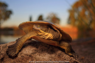 Murray River Turtle autumn glow..