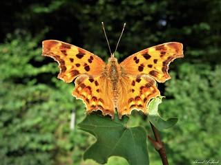 Butterfly 1620