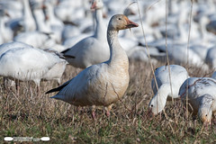 One Of Many (freshairphoto) Tags: field snow geese goose flock migration middle creek wildlife management area kleinfeltersville pa artspearing nikon d500 200500 zoom handheld