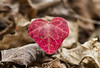 Heart (zsolt75) Tags: canon100d sigma 70300 hungary nature forest leaf handheld red brown march heart