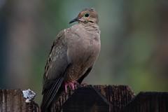 Rained On (ACEZandEIGHTZ) Tags: mourning dove nikon d3200 bokeh rainy wet feathers avian fence macoura zenaida saariysqualitypictures