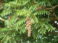 Toona ciliata leaves and capsules (J. B. Friday) Tags: toona meliaceae toonaciliata australianredcedar