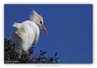Héron garde-boeufs - Western Cattle Egret