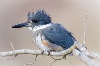 Juvenile Belted Kingfisher