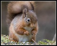 IMG_0027 Red Squirrel (Scotchjohnnie) Tags: redsquirrel sciurusvulgaris squirrel squirrelphotography rodent wildlife wildlifephotography wildanimal wildandfree nature naturephotography canon canoneos canon7dmkii canonef100400f4556lisiiusm scotchjohnnie closeup