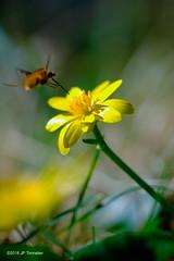 Approche en piqué (jpto_55) Tags: macro bokeh ficaire bombyle insecte fleur xe1 fuji fujifilm omlens om50mmf2macro tarnetgaronne france ngc