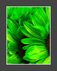 Green Petals Framed (Scorpiol13) Tags: darkmatframe macro flower texture delicate fragility frame bright vibrant green petals