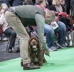 GAZ_1161 (garethdelhoy) Tags: dog sussex spaniel crufts 2018 kennel club
