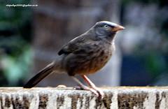 DSC00654 Jungle Babbler (Turdoides striatus) (vlupadya) Tags: greatmnature aves animal fauna indianbirds jungle babblrt yurdoides kundapura karnataka
