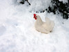 She had failed to plan ahead (*CA*) Tags: ct winter snow hen chicken