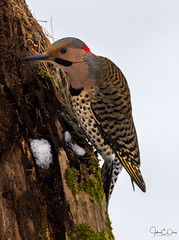 A Flicker on Flickr (John Clay173) Tags: bird newengland northernflicker connecticut winter jclay snow