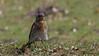 Wacholderdrossel (Turdus pilaris) mit Sturmfrisur (Oerliuschi) Tags: wacholderdrossel drosseln vögel birds turduspilaris federn natur gras wiese