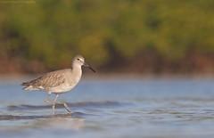 Willet (Cameron Darnell) Tags: willet bird january 2018 beach florida cameron tamron canon shorebird sand nature animal mangrove tidal