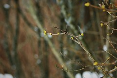 these tiny hints of spring (EllaH52) Tags: trees branches twigs buds snow plants macro