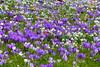 Flower Carpet (ivlys) Tags: deutschland allemagne germany hessen frankfurtammain palmengarten krokus crocus schneeglöckchen snowdrop blume flower blüte blossom wiese meadow frühling spring natur nature ivlys