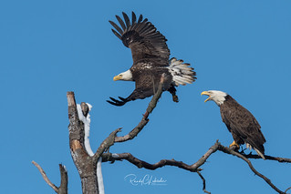 Bald Eagles of the Jersey Shore | 2018 - 39