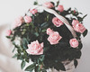 Little pinks (V Photography and Art) Tags: pink roses basket growing motheringsunday