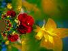 Dreaming of Spring (Shastajak) Tags: photoshopcc layers blending filters pixlr kaleidoscope sliderssunday daffodils camellia bright vibrant ineedcheeringup