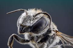 Bee (Karlgoro1) Tags: canon macro photo mpe 65mm f28 eye eyes zerene stacker insect focus stack closeup bug macrolife animal background sony alpha a6300 mirrorless digital camera ilce6300 bee explored