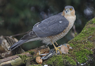 SPARROWHAWK...Male...Garden shot taken through glass...This Chaffinch was already dead after flying into the window.