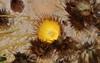 California Barrel Cactus Flower (Bob Franks) Tags: california barrel cactus flower ferocactus cylindraceus
