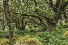 *Wistman's Wood @ enchanted forest* (Albert Wirtz @ Landscape and Nature Photography) Tags: wistmanswood twobridges england greatbritain grosbritannien unitedkingdom vereinigteskönigreich southwestengland dartmoor moor zauberwald enchantedforest märchenwald farn fern natur nature natura moos moss mossy wood forest holz landscape paesaggi campo paysages albertwirtz tree nationalnaturereserve wistman´swoodnationalnaturereserve nikon d810 grün green summer sommer dartmoornationalpark nationalpark cornwall devon tavistock albertwirtzlandscapeandnaturephotography