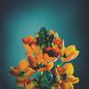 12 / 52 : 4 (Randomographer) Tags: 52weeks flower orange green organic nature natural petals blue contrast composition life grow beautiful fragrant spring gift 12 52 2018 plant hydrangea hortensia