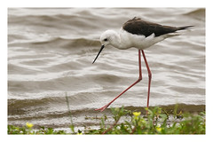 2018 02 01_Black-winged Stilt-1 (Jonnersace) Tags: africa sunsetdam lowersabie krugernationalpark wildwingssafaris blackwingedstilt himantopushimantopus rooipootelsie bird wader legs bill beak canon7dii canon100400ii nature water feeding looking feet flowers plants southafrica black white red long fine delicate longlegs