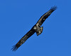 Juvenile In Flght (MJMPhoto II) Tags: americanbaldeagle baldeagle eagle juvenilenikon nikond850