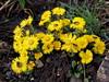 martilapu / coltsfoot (debreczeniemoke) Tags: tavasz spring rét meadow növény plant gyógynövény medicinalplant virág flower martilapu farkastalpfű kereklapu körömfű körömlapu lóköröműfű lókörműszattyán lókörműszattyu mostohalapu partilapu szamárköröm szamárlapu szattyú tyúkvirág vajkapu coltsfoot tussilagofarfara podbal fészkesek asteraceae olympusem5