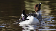 Goldeneye Courtship (mikedenton19) Tags: goldeneye bucephala clangula bucephalaclangula courtship male female dance mating ritual martin mere martinmere wetland centre wildfowl wetlands trust wwt wildfowlwetlandstrust lancashire wildlife nature bird rspb spring water