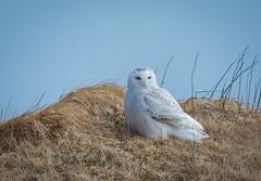 Snowy Owl (Wild & Free Photography) Tags: birds newfoundland wildlife owl snowyowl nikon sigma nature