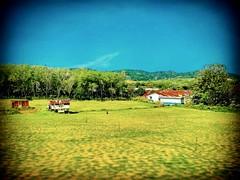 Labu, Negeri Sembilan https://goo.gl/maps/Aj6Cg6Fo8hN2 #tree #trip #travel #holiday #traveling #tree #Asian #Malaysia #negerisembilan #holidayMalaysia #travelMalaysia #树 #旅行 #度假 #亚洲 #马来西亚 #森美兰 #马来西亚度假 #自游马来西亚 #rural #乡村 #kampung #farm #bluesky #蓝天 #草 #gra