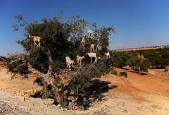 Goats of Essaouira (JLM62380) Tags: goats essaouira arbousier chévres morocco desert sand tree animals dry aridness arbutus maroc