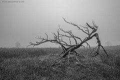In life and death (Khurram Khan...) Tags: landscape trees bigmeadow naturephotography ilovenature iamnikon ilovewildlife nikond850 hdr fog naturephotos wwwkhurramkhanphotocom khurramkhan