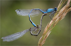 Memories of Summer ....... (Charles Connor) Tags: loughbrickland commonbluedamselflies damselfliesmating insectsmating insectmacro flyinginsects insectphotography macrophotography macro loughbricklandlake northernireland closeups canon100mmmacrolens canon7dmk11