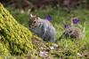 Dunham Squirrel (Maria-H) Tags: greysquirrel sciurusvulgaris greatermanchester england unitedkingdom gb dunhammassey cheshire uk olympus omdem1markii panasonic 100400