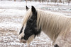 Winter horse (Photography by Martijn Aalbers) Tags: horse paard winter march maart cold koud snow sneeuw animal dier mammal zoogdier country platteland farmland boerenland farm boerderij brabant rosmalen shertogenbosch noordbrabant thenetherlands nederland dutch netherlands freezing vriezen white wit canoneos77d ef70200mmf4lisusm wwwgevoeligeplatennl