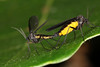 Sciara du groupe analis in copula. (chug14) Tags: unlimitedphotos macro insecte copula copulation animalia arthropoda hexapoda insecta diptera nematocera sciaridae sciara sciaraanalis